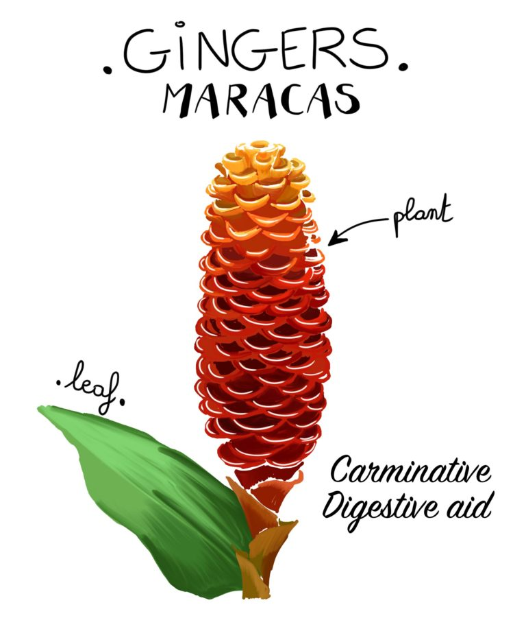 illustration gingembre maracas Costa Rica